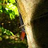 Yellow-head gecko