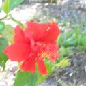 hibisus