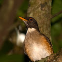 Zorzal collar blanco (White-necked thrush)