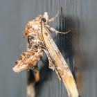Marathyssa moth