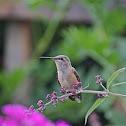 Broad Tailed Hummingbird Female