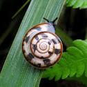 Tricolor Snail