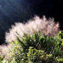 Amliso, Broom Grass