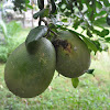 Pomelo, Chinese grapefruit
