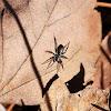 Ground Sac Spider