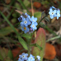Nomeolvides / Wood Forget-me-not