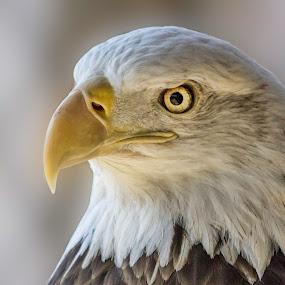 Bald Eagle by Rick Shick - Animals Birds ( bald eagle )
