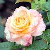Floribunda Rose 'Day Breaker'