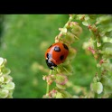 Ladybug wallpaper , 壁紙 てんとう虫 logo