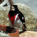Red-breasted Grosbeak
