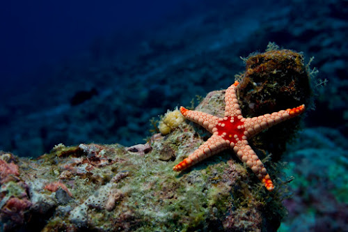 Lonely Star by Alin Miu - Landscapes Underwater ( star fish, coral life, underwater, fish, red star )