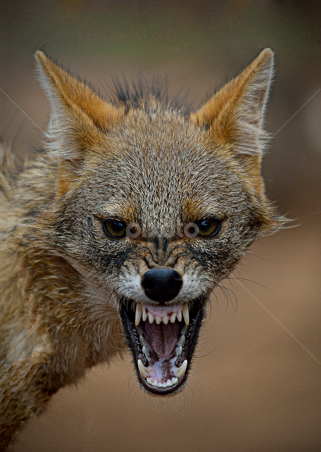 Furious Jackal by Hitesh Patel - Animals Other Mammals (  )
