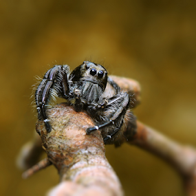 Black Jumping Spider by Ardika Septyawan - Animals Insects & Spiders ( macro, jumping spider, oooo, spider, black )