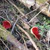 Scarlet Elfcup, punamaljakas