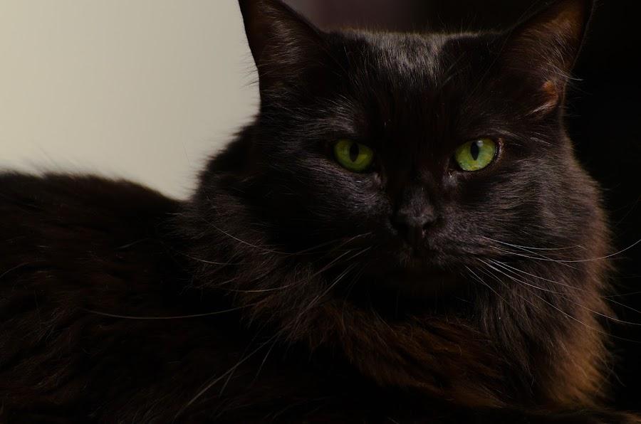 Cole looking majestic by Daniel Jansen - Animals - Cats Portraits ( cat, cole, medium hair, medium fur, black, black cat )