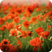 Poppies Live wallpaper