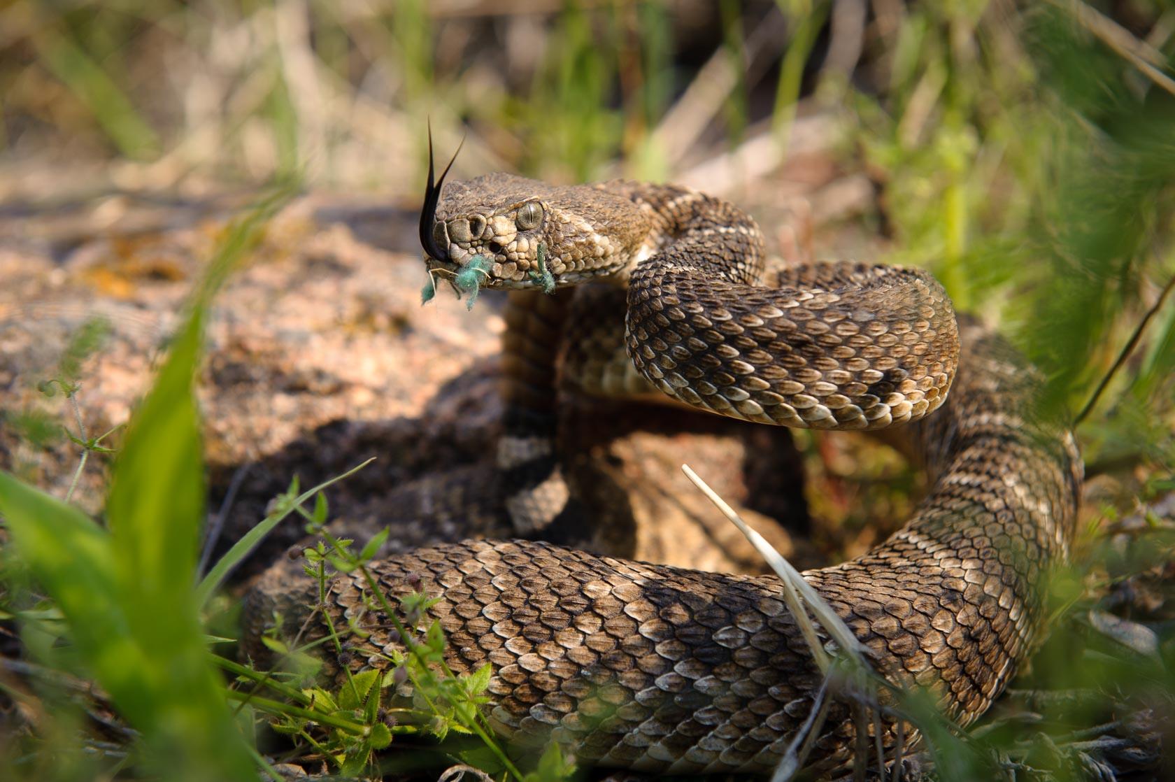 Rattlesnake for Dog Training, Texas