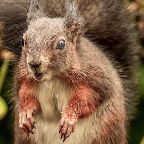 Not So Pretty. Red Squirrel (Sciurus vulgaris) by Graham Mulrooney - Animals Other ( sciuridae, uk, wildlife, england, natural history, nature, red squirrel, eating, square, rodent, berkshire, closeup, sciurus vulgaris, squirrel, animal,  )