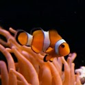 Real clownfish in Aquarium logo