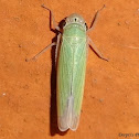 Sugarcane Leafhopper