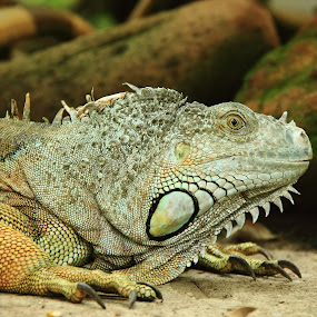 by Sonika Sharma - Animals Reptiles ( calm, spikes, green, iguana, reptile,  )