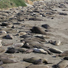 Elephant Seals (Earless seal)
