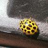 22 Spot Ladybird?