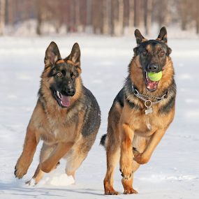 Young Shepherds by Mia Ikonen - Animals - Dogs Playing ( energetic, german shepherd, chasing, winter, canine, running, beautiful, mia ikonen, action, playful, dog, pet, finland,  )