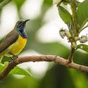 Olive-backed Sunbird ♂