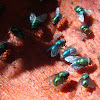 Greenbottle and bluebottle flies