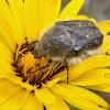Hirta beetle. Escarabajo Tropinota hirta