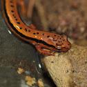 Blue Ridge Two-lined Salamander