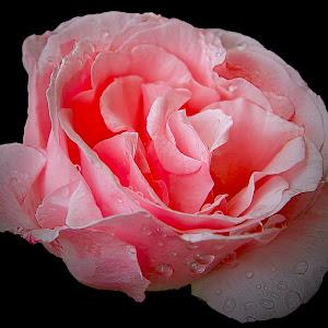 rože2-1---------črna.jpg