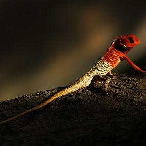 Colorful Chameleon... by Avishek Patra - Animals Reptiles ( colour change, lizard, newt, chameleons, red, red colour, reptile, chameleon, lizards,  )
