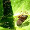 Spitting spider - Aranha cuspideira