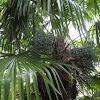 Palm Tree 'Buttered Popcorn'