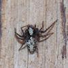 Western Lynx Spider