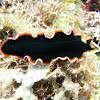 Pseudobiceros hancockianus