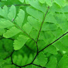 Aleutian Maidenhair
