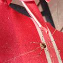 Common Cellar Spider