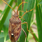 Brown Shield Bug
