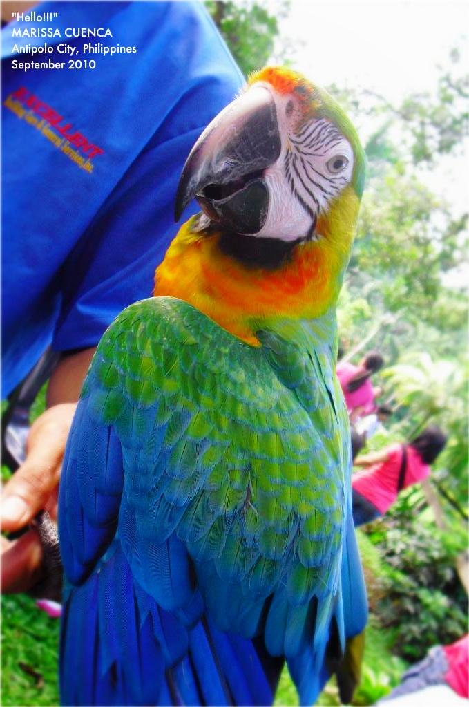 Hybrid or Rainbow Macaw or Catalina