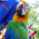 Hybrid or Rainbow Macaw or Catalina