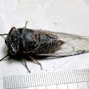 Little Baron Cicada