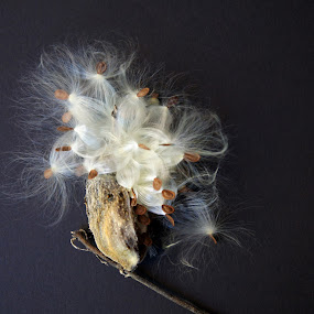 Emergence by Mary Gerakaris - Nature Up Close Other plants ( stilllife, artistic photography, macro photography, milkweed, corporate offic eart, natural beauty,  )