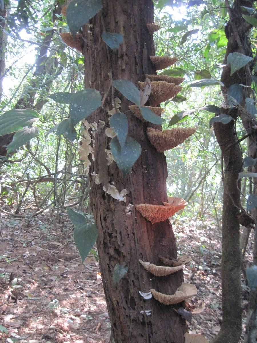 Bracket fungi