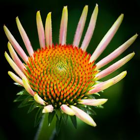 Cone Flower by Andrew Lawlor - Flowers Single Flower
