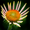Cone Flower 2 NAL.jpg