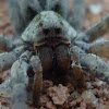 Aranha de grama