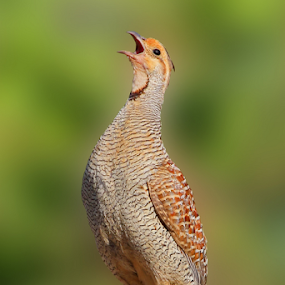 Gray Francolin...calling a loud by Vijendra Parmar - Animals Birds ( birding in udaipur, udaipur birdwatchers, indibirding, vijendra photography, birding in india, gray francolin, bird photography,  )